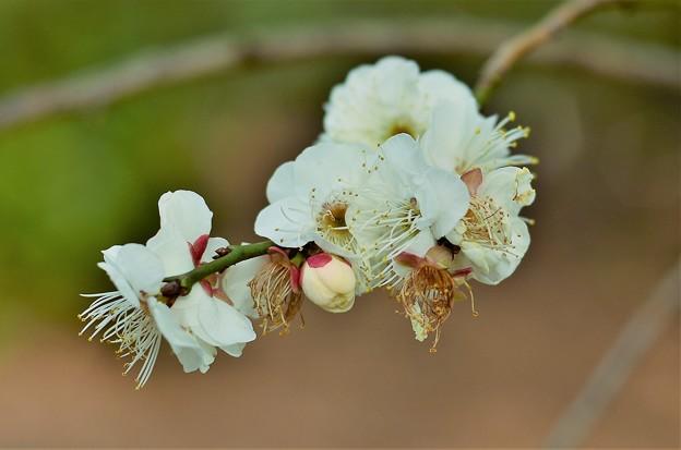 梅の花 DSC_2922 (2)