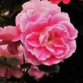 薔薇  DSCN0335 (2)