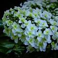 紫陽花 DSC_3440 (2)