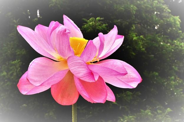 Photos: DSC_3933 (2)太古の花の踊り