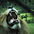 Photos: DSCN1695 (2)ライオン君の牙