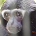Photos: DSCN1733 ボウシテナガザルの素顔