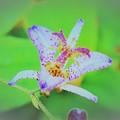 Photos: DSC_4145 (3) タイワンホトトギス2