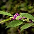 DSC_4113 (2) 小紫(実)