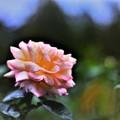 DSC_4119 (2)  薔薇