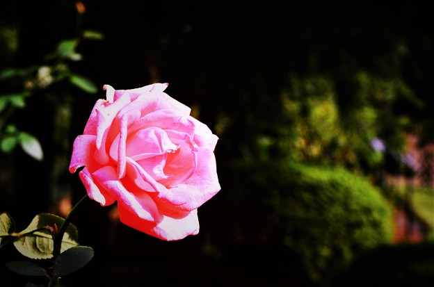 Photos: DSC_4158 (2) レディ・メイアン