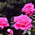Photos: DSC_4184 (2) マリア・カラス