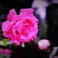 Photos: DSC_4182 (3) 薔薇