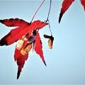 Photos: 紅葉の種 DSCN2962 (3)