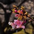早咲きの河津桜 DSC_4714 (2)