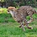 Photos: チータは走る走る何処までも DSC_1225 (2)
