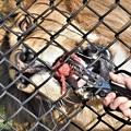 Photos: フェンス越しの餌は食べにくいのー  DSCN0231 (2)