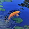 Photos: 静かな湖面を悠然と旋回する緋鯉  DSC_4861 (2)
