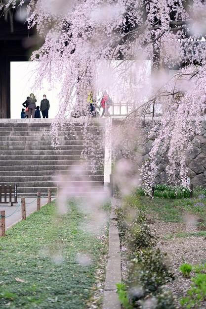 東郷寺の枝垂れ桜