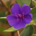 Photos: 紫紺のボタン