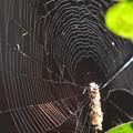 Photos: 蜘蛛の巣のア-ト?