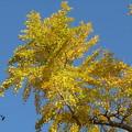 Photos: 銀杏の黄葉