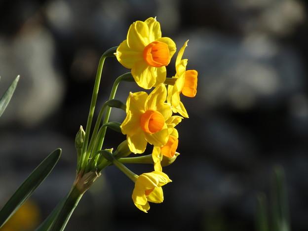黄 水 仙