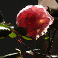 Photos: 薔薇の花