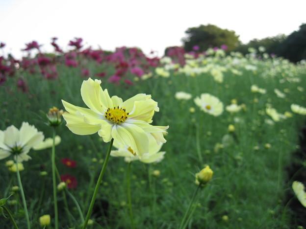 Photos: コスモス(2007年)