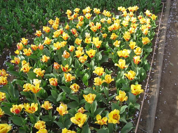 昭和記念公園の花