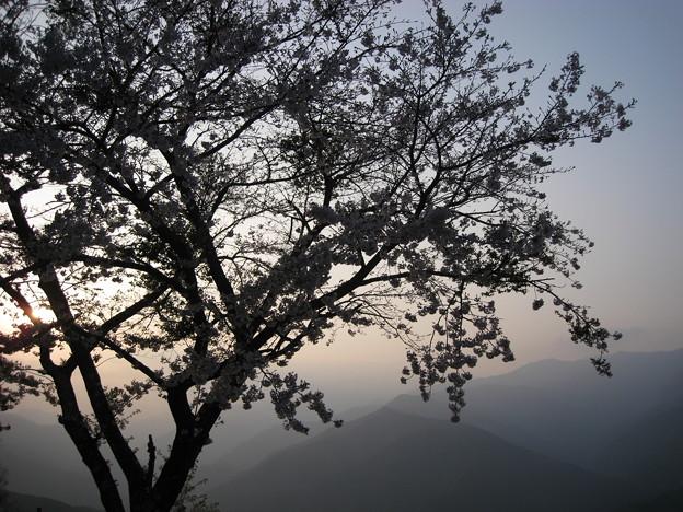 Photos: 夕陽と桜