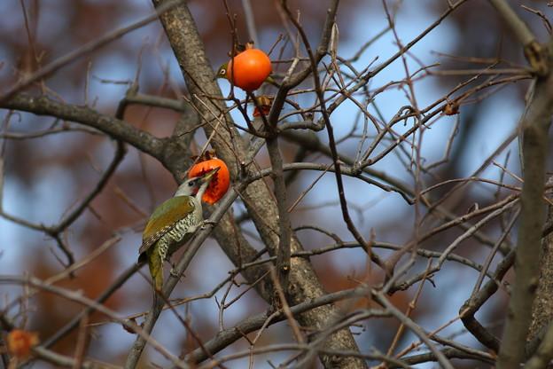 Photos: 柿食えば~♪