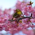 桜メジロ♪
