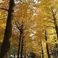 Photos: 18日の銀杏並木♪
