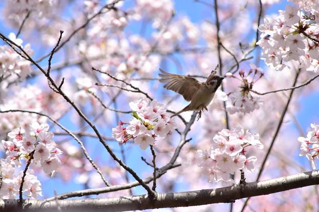 向こうの桜へ
