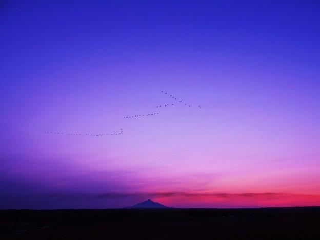 白鳥の渡りと利尻富士_1
