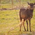 Photos: 蝦夷鹿と利尻富士_3