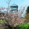 最北の小さな千島桜_1