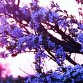 Photos: 夕暮れのすももの花