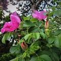 Photos: F013_ 浜梨(1)