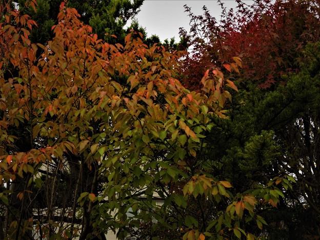 Photos: 庭先の紅葉2