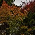 庭先の紅葉2