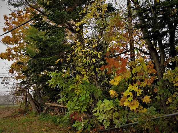Photos: 庭先の紅葉3