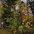 庭先の紅葉3