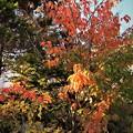 Photos: 庭先の紅葉6