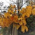 庭先の黄葉7