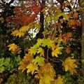 庭先の黄葉8