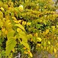 庭先の黄葉9