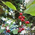 Photos: エゾノコリンゴ(サンナシ、ヒロハオオズミ)