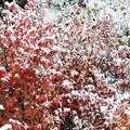 紅葉と初雪_1