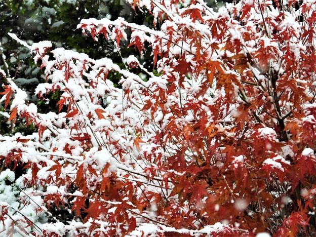 Photos: 紅葉と初雪_2