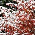 紅葉と初雪_2