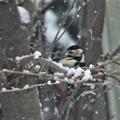 Photos: 冬の訪問者(枝被り)