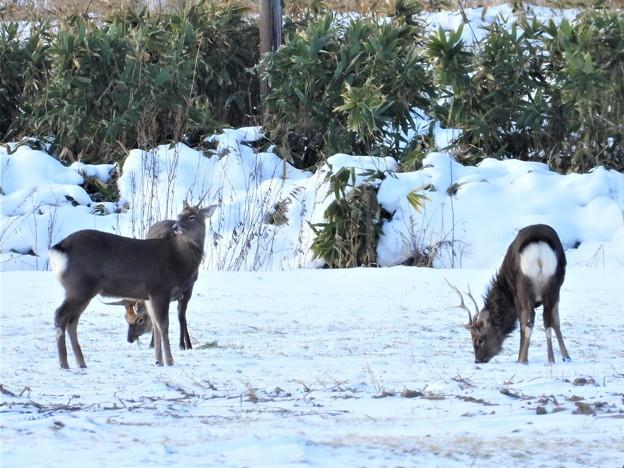 Photos: 蝦夷鹿
