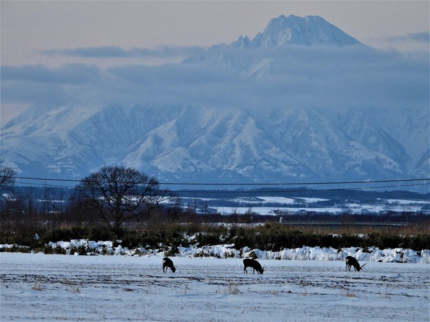 Photos: 蝦夷鹿と利尻富士